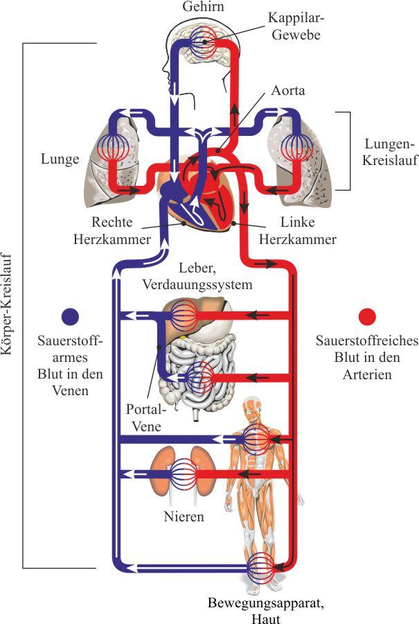 Ausgezeichnet Das Herz Kreislauf System Besteht Aus Galerie ...
