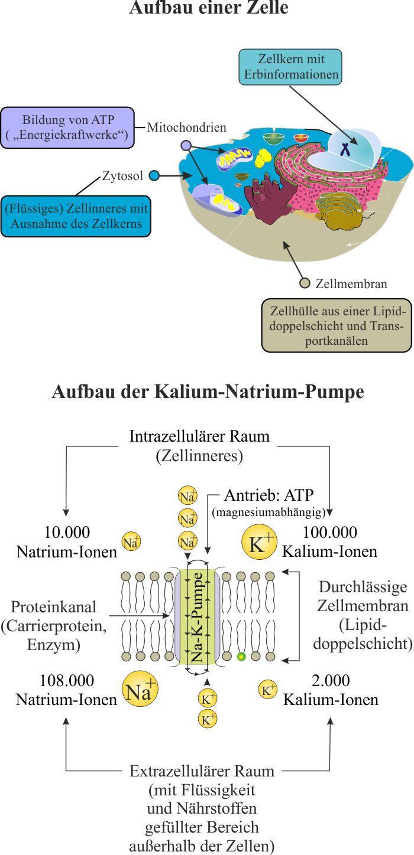 Zelle_Natrium_Kalium_Pumpe_2